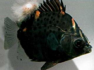 Грибки на аквариумных рыбках и как их лечить
